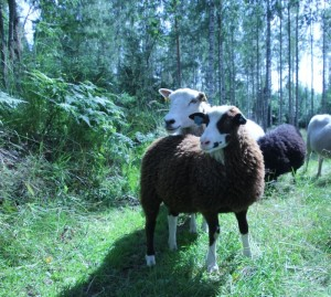 Sheep on pasture in Tervalepikon Torpat forest.