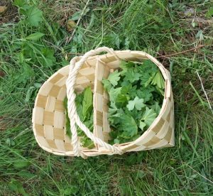 Freshly gathered wild Lady's Mantle (Alchemilla) leaves